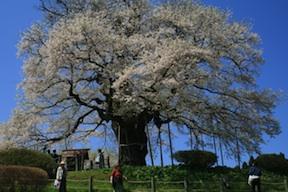daigo in bloom