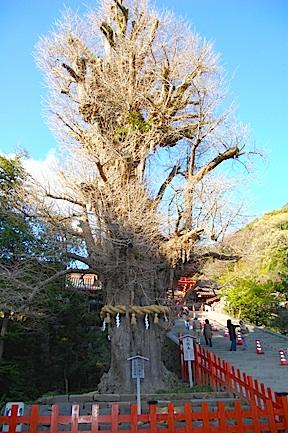 Tsurugaoka shrine gingko