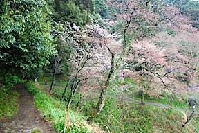 Hillside with sakura