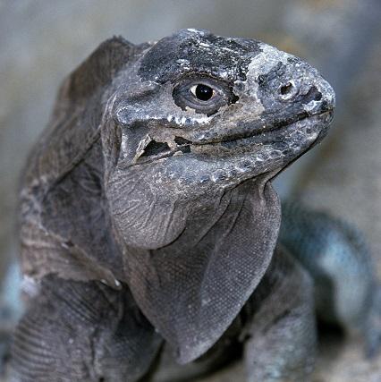 Anegada Island blue iguana