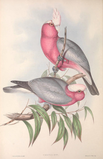 1848 painting of two Galah by John Gould