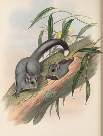 John Gould painting of two sugar gliders