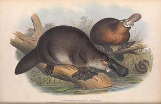 1863 illustration of two platypuses by John Gould