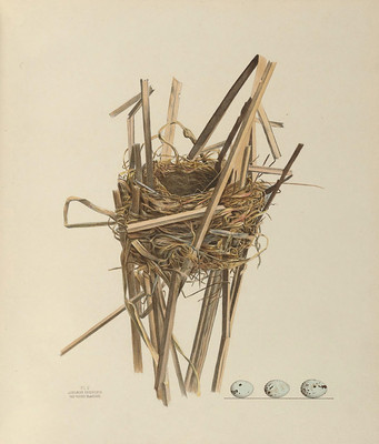 Book image, nest of Red-winged Blackbird
