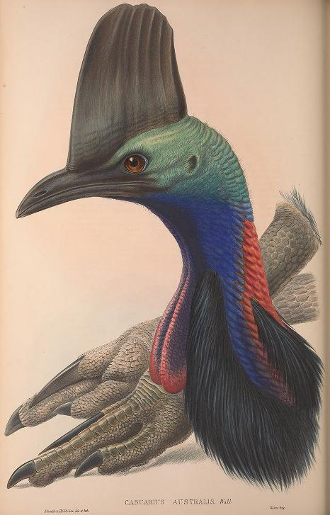 early illustration of a Southern Cassowary