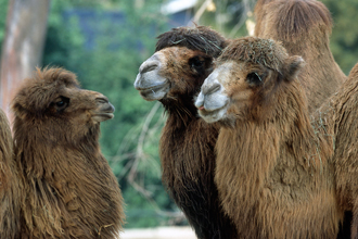 Three Bactrian Camels