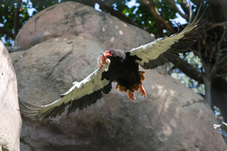 Bateleur in flight with prey