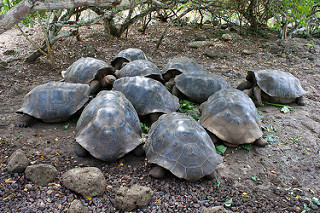 group of Galapagos tortoises rest in the shade