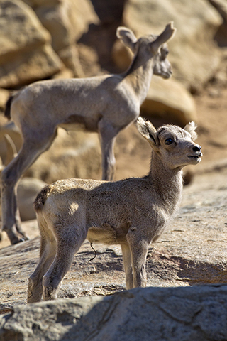 Bighorned Sheep young