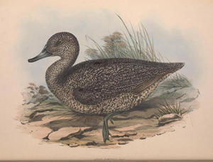 1848 painting of a Freckled Duck by John Gould