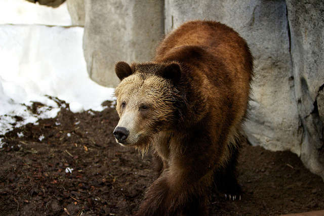 Brown Bear in cave