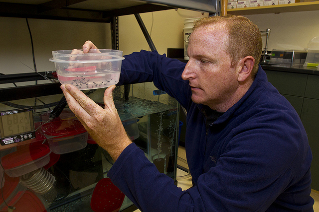 Jeff Lemm at ICR checks Mountain Yellow-legged frog eggs