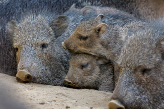 Group of Chacoan Peccaries resting on top of each other