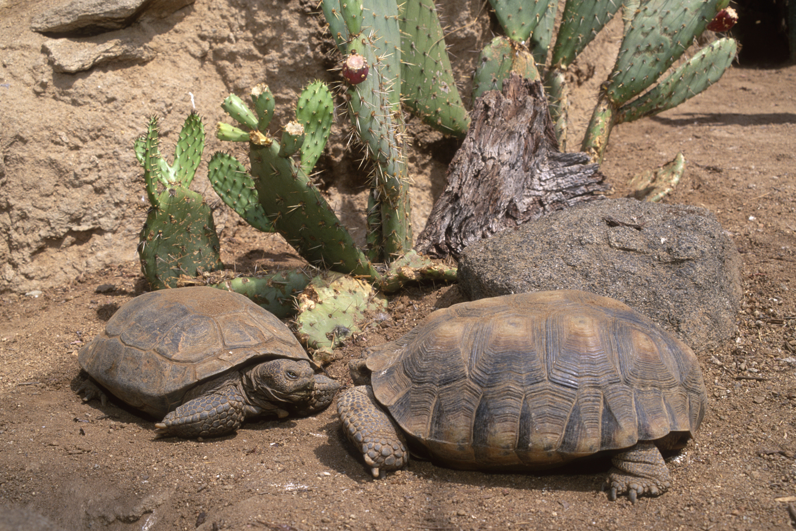 two desert tortoises square off