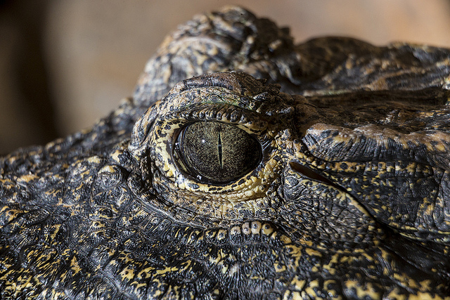 eye of dwarf crocodile