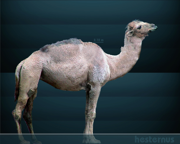 Extinct Western Camel