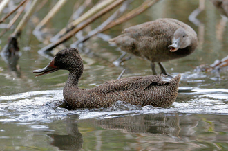 Freckled Duck defends resting spot