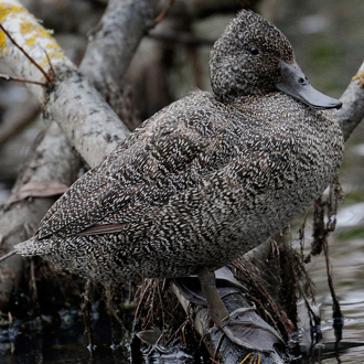 Freckled Duck rests on branch