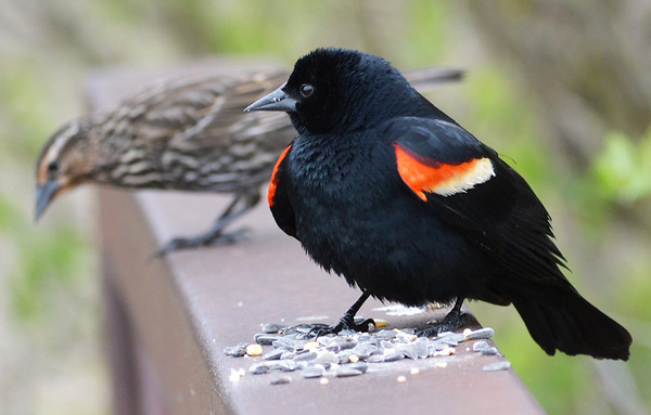 Male and female Red-winged Blackbirds on railing