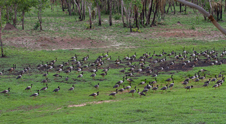 Large group of Magpie Geese on grass