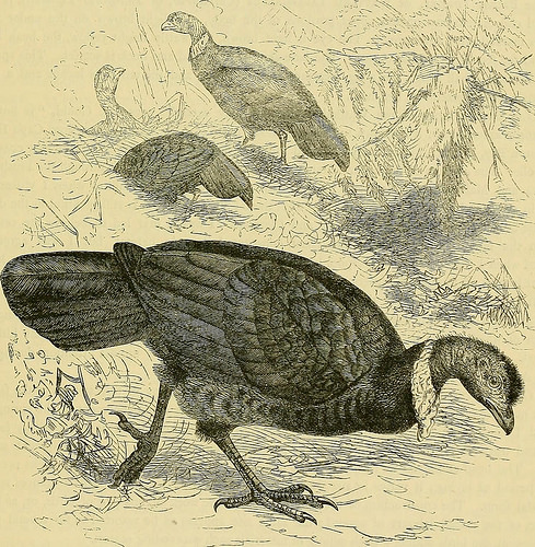 Early illustration of Australin Brush-turkey
