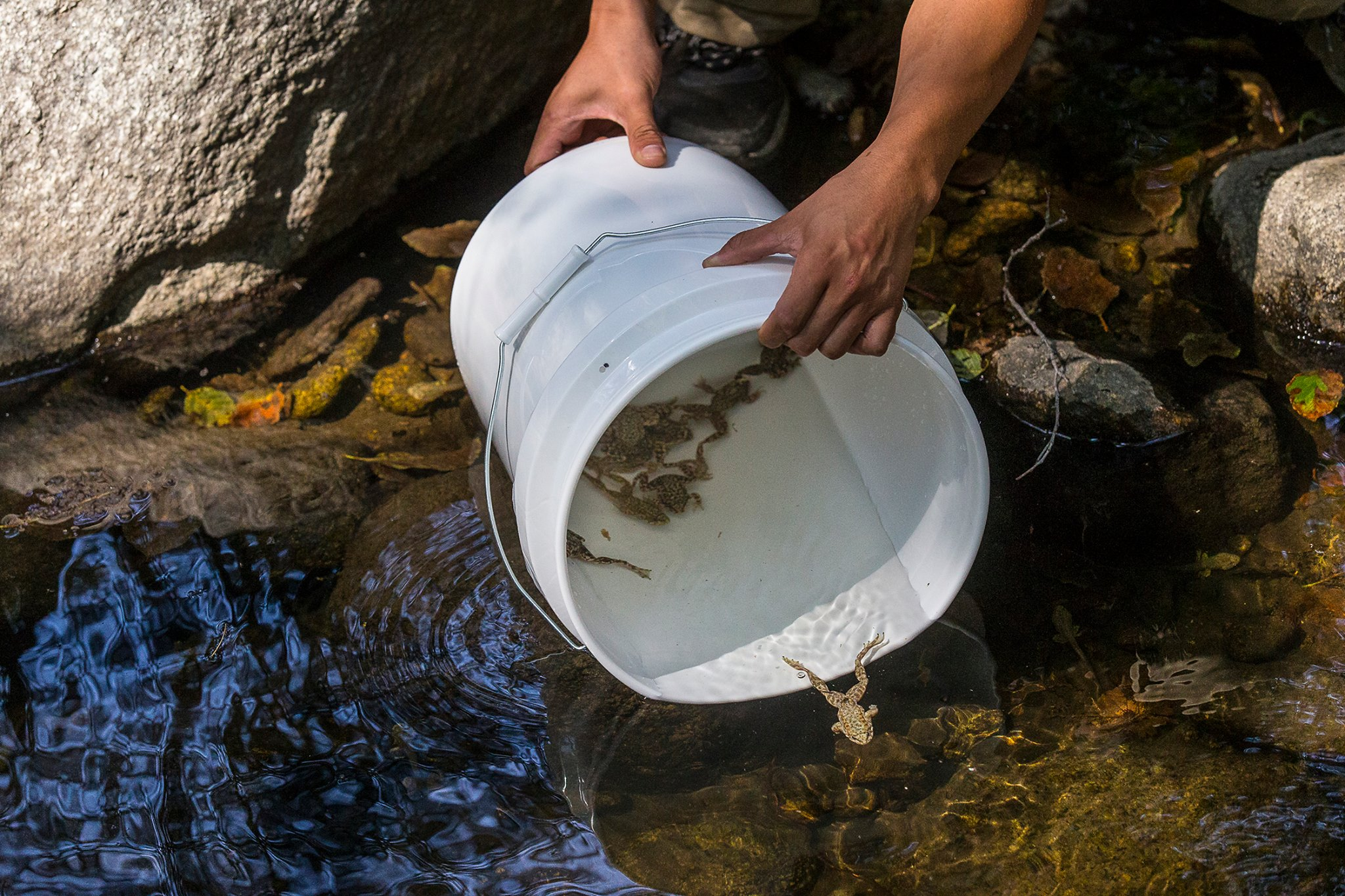 Mountain Yellow-legged frog being released into the wild