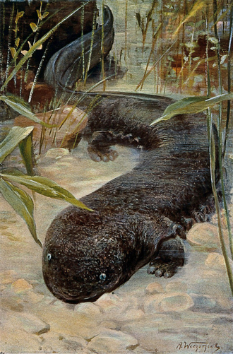 Lithograph of giant salamander-Wellcome Collection