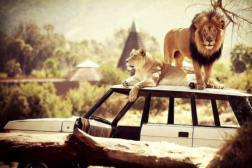 Two lions atop Jeep in Lion Camp