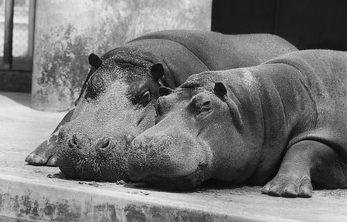 Two hippos at the San Diego Zoo, 1940