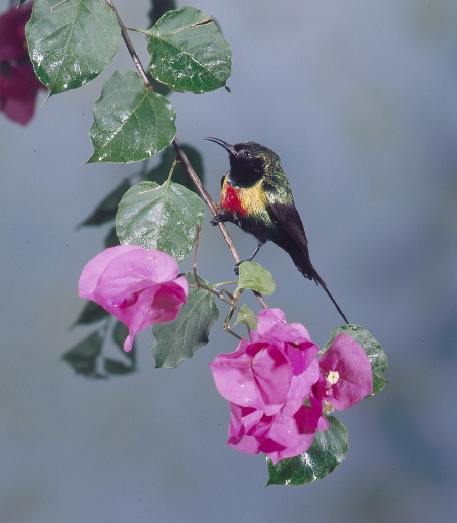 Beautiful Sunbird at the San Diego Zoo