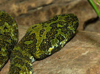 Mangshan pit viper rests its head on a rock