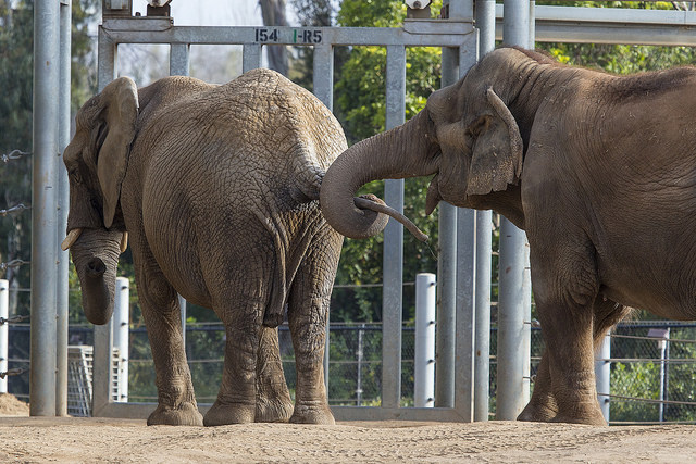 Two elephants of different species meet