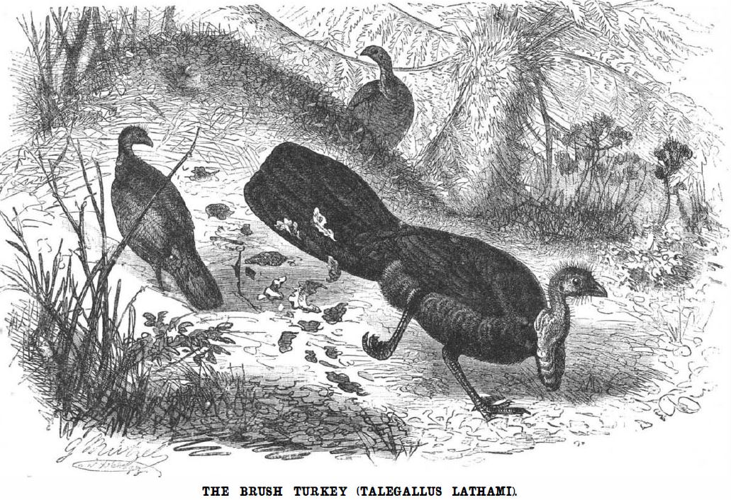 1887 illustration of a male brush turkey building a mound