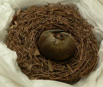 Mounted platypus specimen incubating eggs in nest