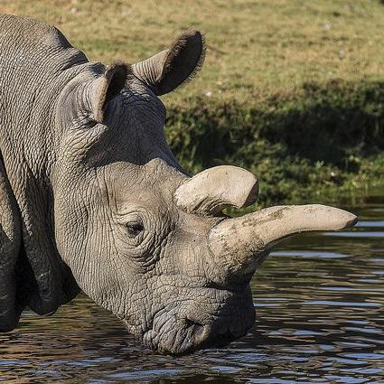 Northern white rhino 'Nola'