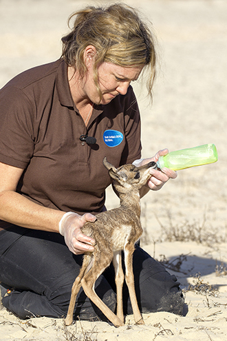 newborn pronghorn being bottle fed by keeper at the San Diego Zoo Safari Park