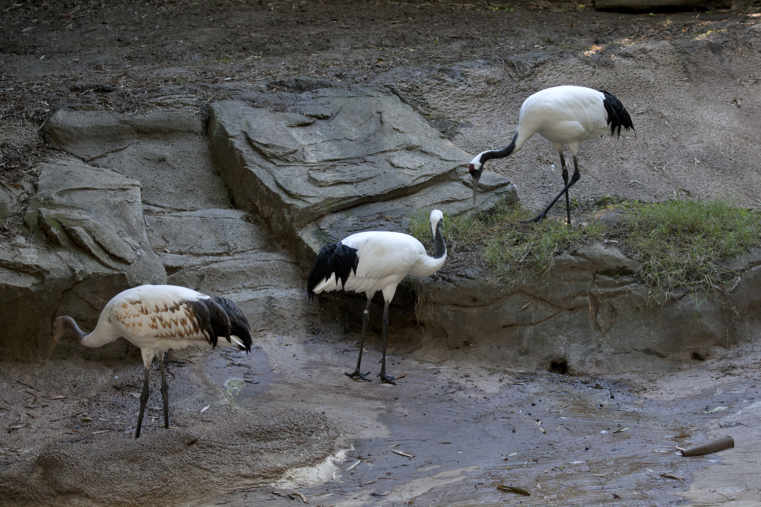 group of Red crowned crane