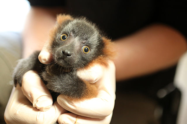 Red-ruffed lemur baby