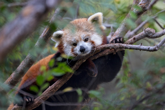 Red Panda resting in tree