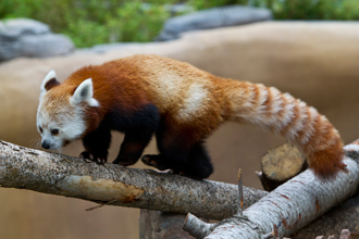 Red Panda sniffing a branch