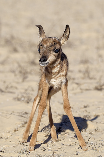 newborn pronghorn