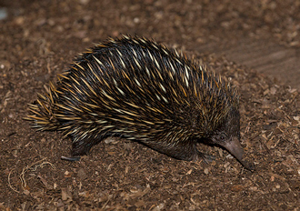 Short-beaked echidna at the San Diego Zoo
