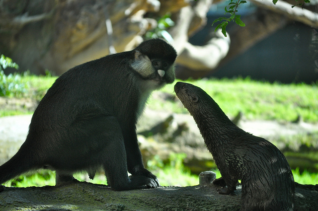 otter and guenon