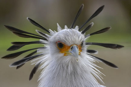 Head and crest of a secretary bird