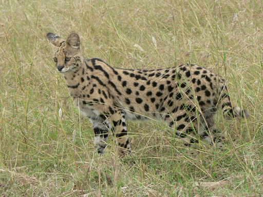 a serval hunting