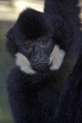 Adult male red-cheeked gibbon, black hair
