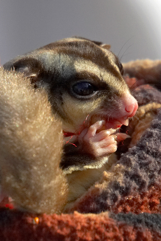 Young sugar glider in blanket