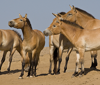 Przewalski's horses at San Diego Zoo Safari Park