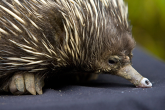 Head and front foot of a short-beaked echidna
