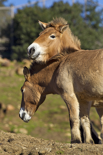 Two Przewalski's horses stand with necks touching